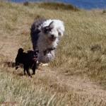 Бобтейл с собакой
