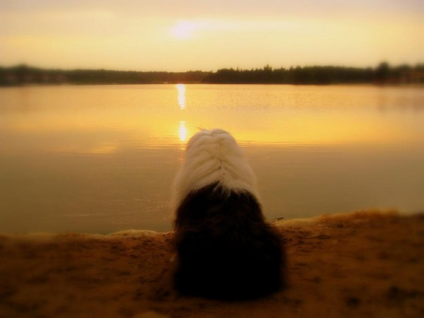 Бобтейл наблюдает закат