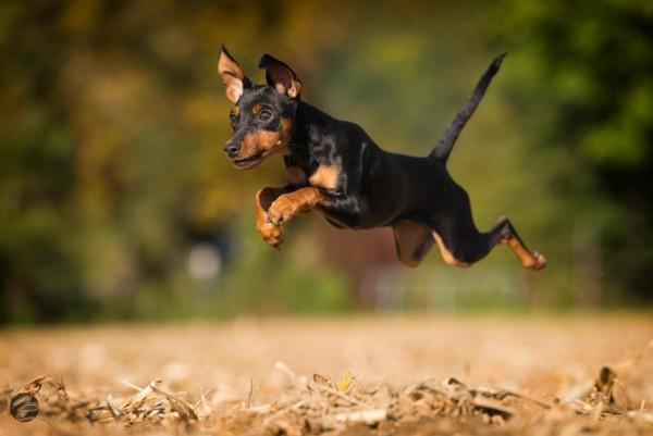 Цвернпинчер в прыжке