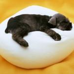 Щенок ризеншнауцера на подушке