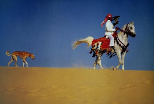 Салюки в пустыне с всадником