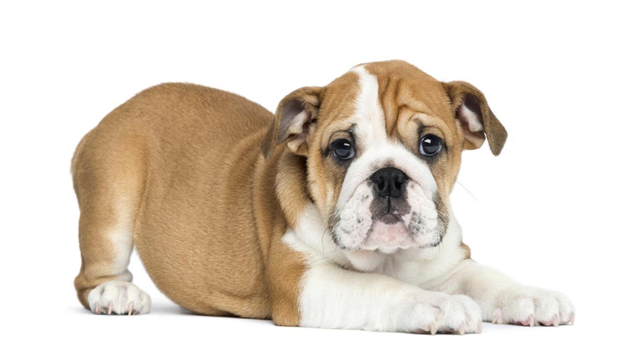 Топ10 самых маленьких пород  Китайская хохлатая собака