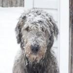 Ирландский волкодав в снегу