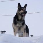 восточноевропейская овчарка в снегу