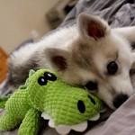 Аляскинский кли-кай щенок с игрушкой