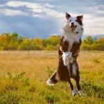 Австралийская овчарка в прыжке