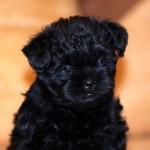 Аффенпинчер щенок