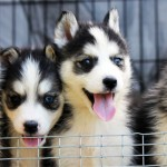Аляскинский кли-кай щенки