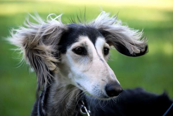 http://prosobak.com/wp-content/uploads/2015/10/Animals___Dogs_Cutie_dog_saluki_090525_-600x401.jpg