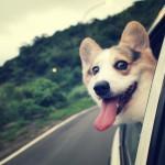 Вельш-корги любит кататься на машине