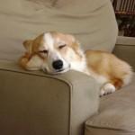 Вельш корги спит