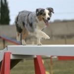 Австралийская овчарка на тренировочной площадке