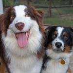 Две Австралийские овчарки
