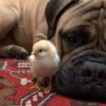 Бульмастиф с цыпленком