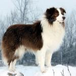 Бордер-колли зимой