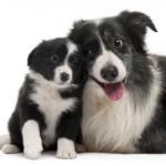 Бордер-колли с щенком
