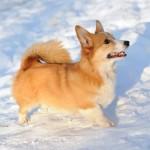 Вельш корги в снегу