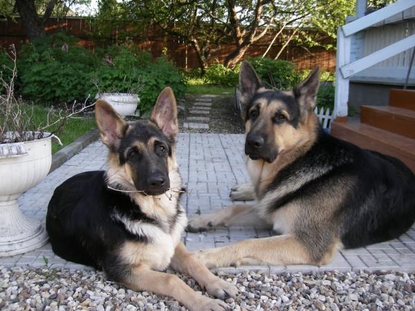 Две восточноевропейские овчарки