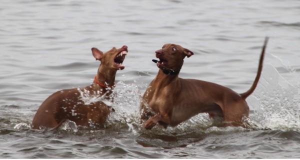 Две Фараоновы собаки в воде