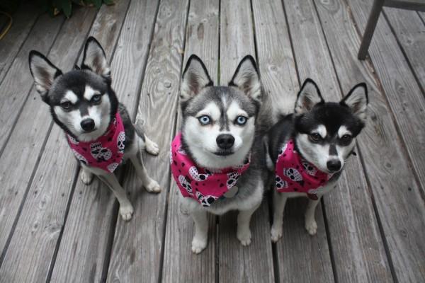 Три Аляскинских кли-кая