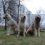 Три Ирландских волкодава