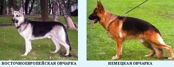 Отличие восточноевропейской овчарки от немецкой