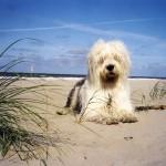 Бобтейл на пляже