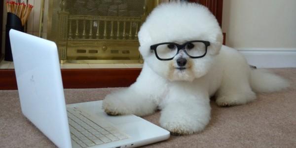 Бишон фризе в очках серфит в интернете