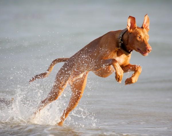 Фараонова собака бежит в воде