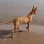Фараонова собака на берегу