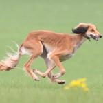 Щенок салюки бежит