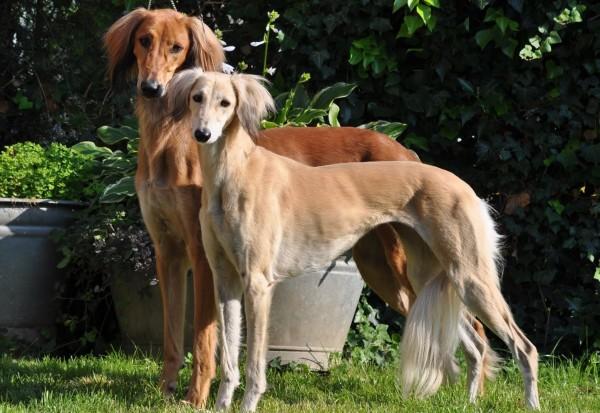 Салюки с щенком