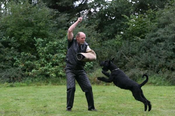 Черный ризеншнауцер тренирует команду фас