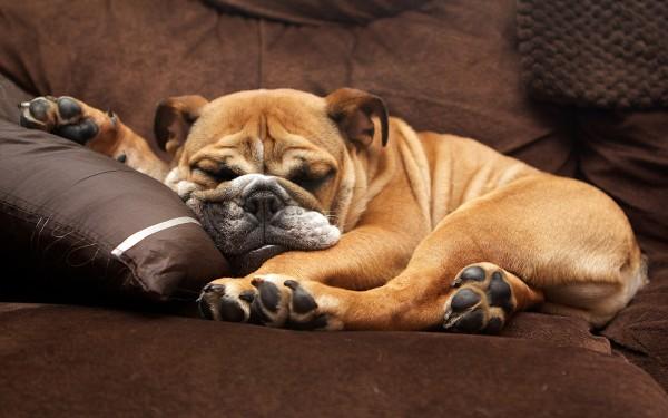 Английский бульдог спит