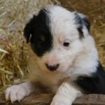 Маленький щенок бордер-колли