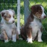 Два щенка Австралийской овчарки