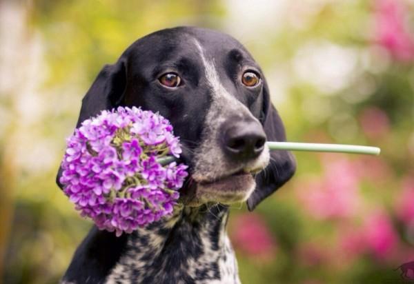 Курцхаар с цветочком