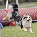 Австралийская овчарка прыжок