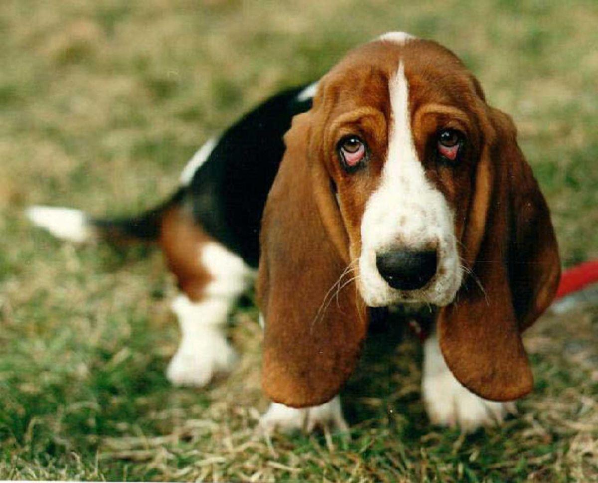 http://prosobak.com/wp-content/uploads/2015/10/basset-hound8.jpg