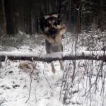 восточноевропейская овчарка берет барьер