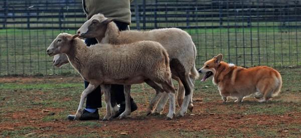 Вельш корги пасет овец