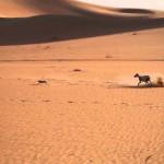 Охота в пустыне с салюки