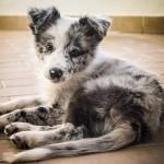 Бордер-колли щенок мраморного окраса
