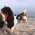 Бассет-хаунды на пляже