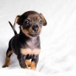 Цвергпинчера щенок