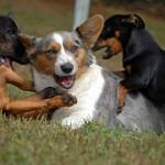 Вельш корги с другими собаками
