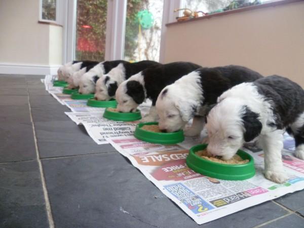 Щенки Бобтейла кушают в ряд