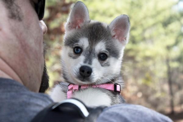 Аляскинский кли-кай щенок