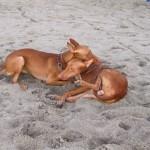 Две Фараоновы собаки на пляже