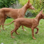 Фараонова собака с щенком